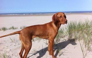 Охотничьи собаки — разнообразие пород