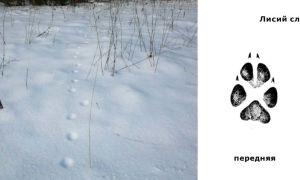 Как распознать следы лисы на снегу: фото