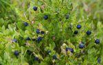 Какие есть съедобные ягоды в лесу: фото и список
