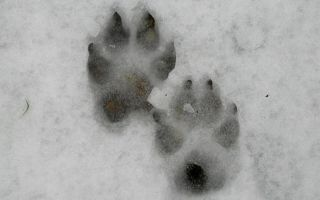 Следы волка на снегу: фото