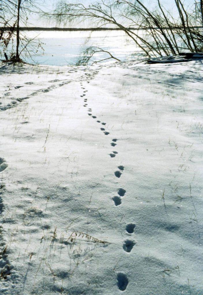 случай лисьи следы на снегу фото оперы